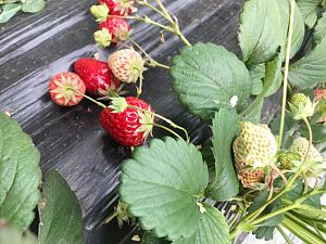 摘草莓 Picking strawberries